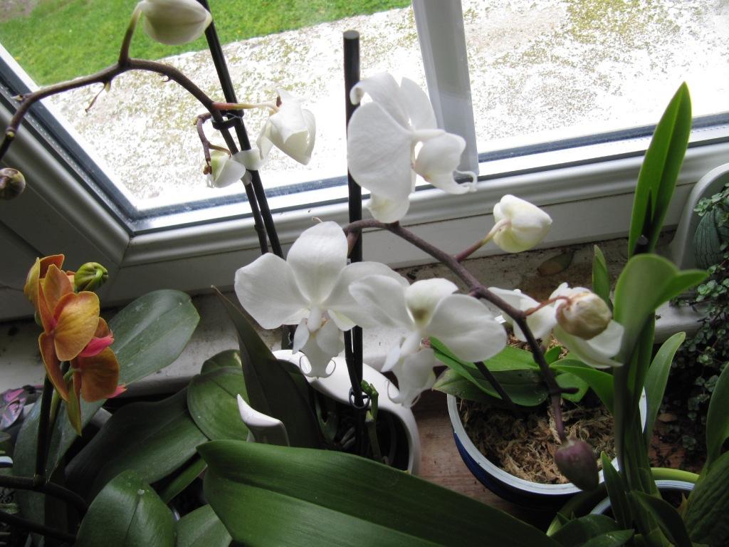Floraison de mes Orchidées  Orchid15