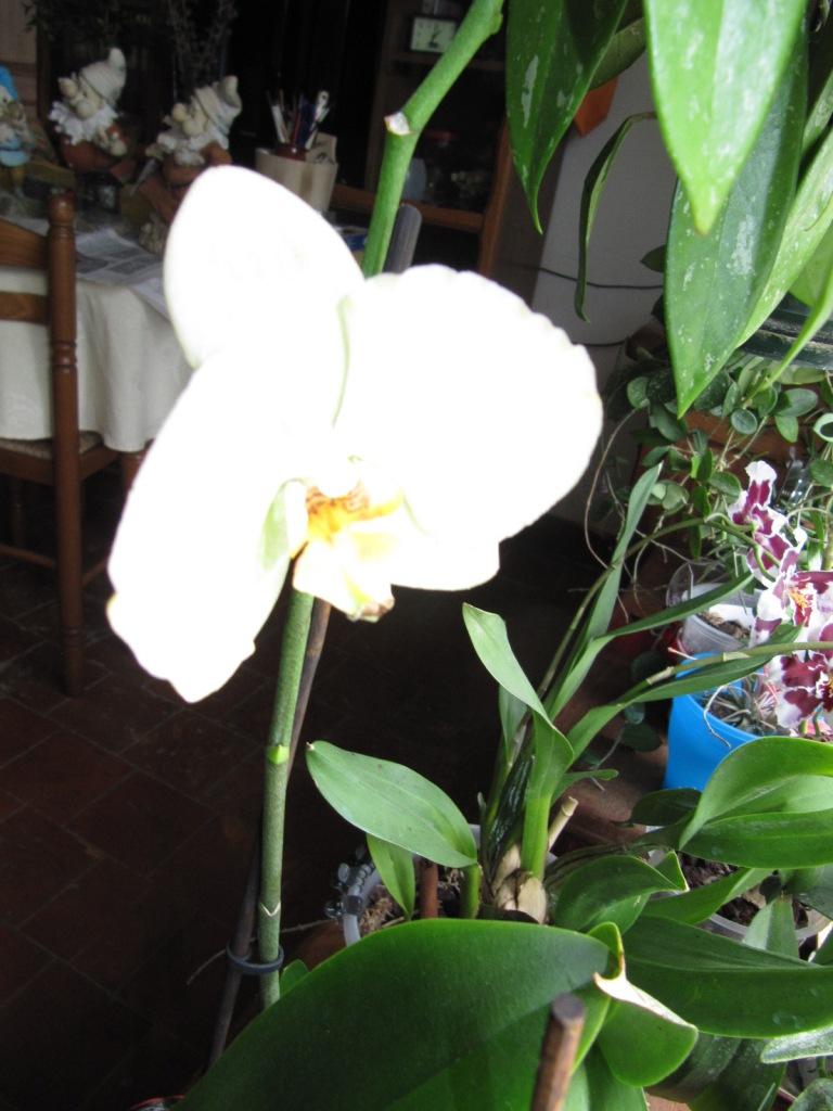 Floraison de mes Orchidées  Orchid16