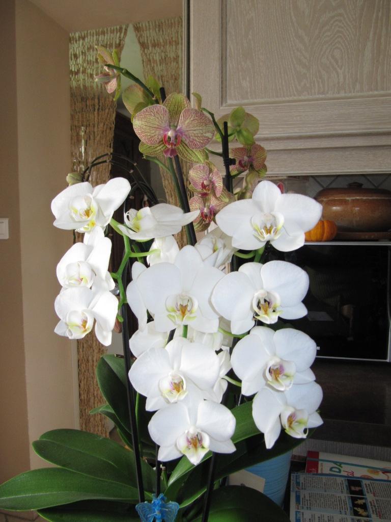 Floraison de mes Orchidées  Orchid17