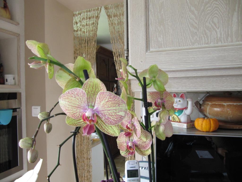 Floraison de mes Orchidées  Orchid18