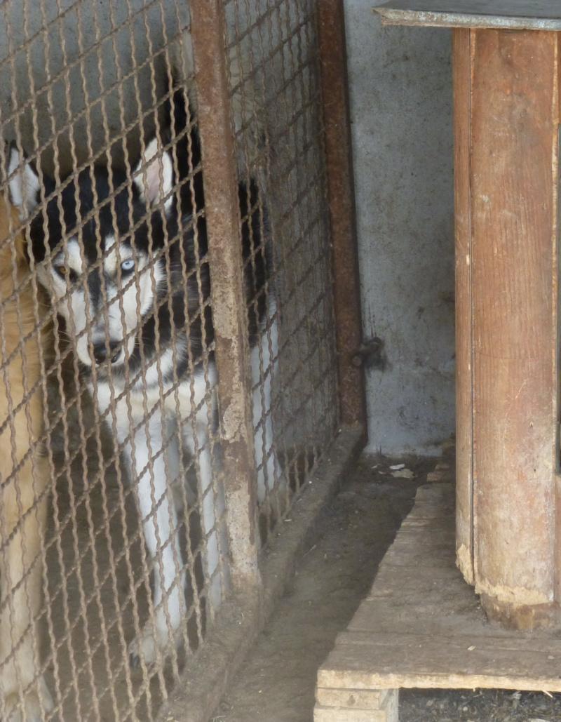 HAAS M-X husky, taille moyenne, 20 kg, né env. 2014 (BACKA) Pris en charge Un coeur pour eux Has10