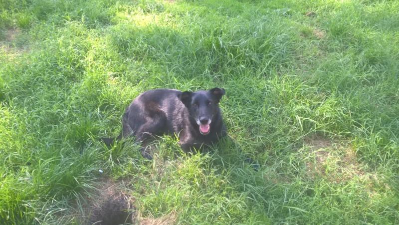 JUSTIN M-X labrador noir, taille moyenne, env. 25 kg, né 2013 Ex-Backa(BELLA)PRET/ BESOIN DE SOINS - Page 3 Justin14