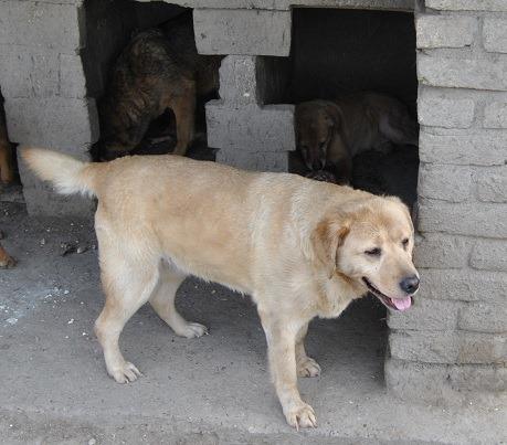 MEDDO, M-X labrador sable, taille moyenne, env. 25 kg né 2006 (BACKA/Pension MILICA) Medda10