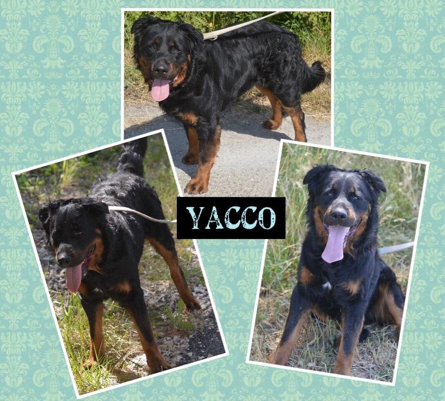 Yacco mâle beauceron né en juillet 2016 Yacco10