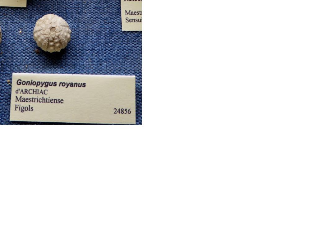 Goniopygus tetraphyma ? Goniop10