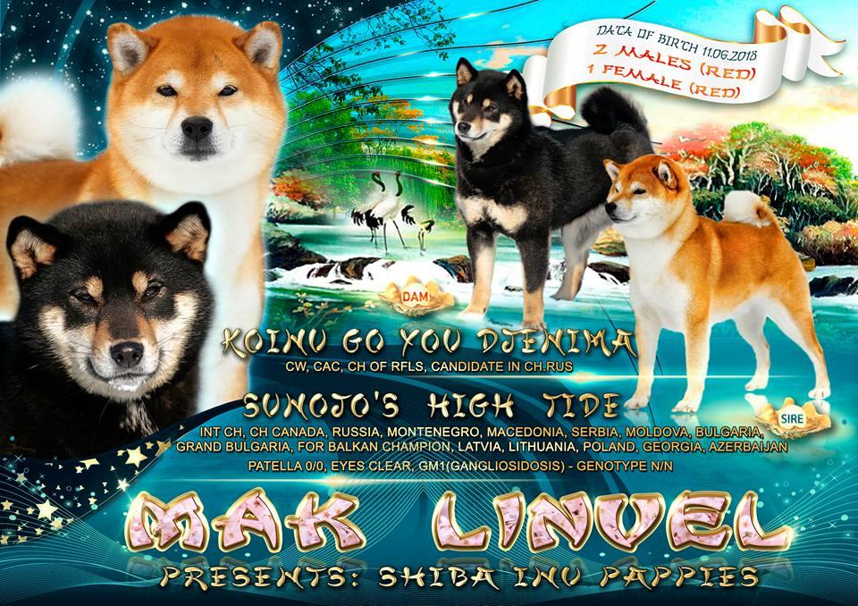 Щенки от племенной пары  SUNOJO'S  HIGH  TIDE  х KOINU GO YOU DJENIMA. Aaau10