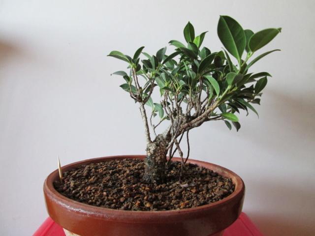 Ficus Tigerback comercial Img_2110