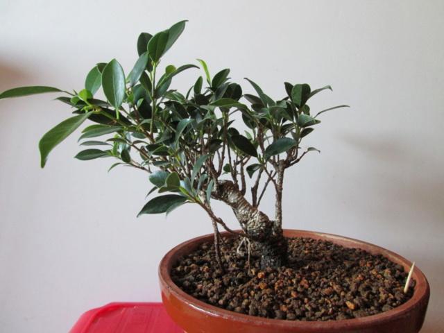 Ficus Tigerback comercial Img_2111