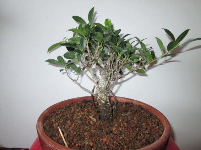 Ficus Tigerback comercial Img_2112