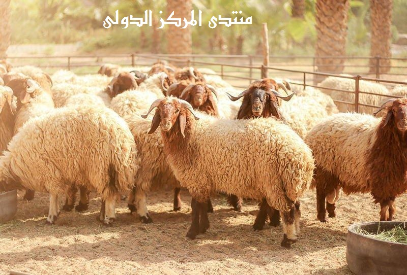 ثمانون مسألة في أحكام الأضحية عقيل بن سالم الشمري 56241310