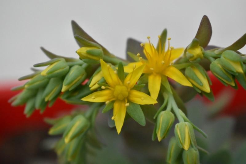 Fleurs de sédum palmeri. 20180112