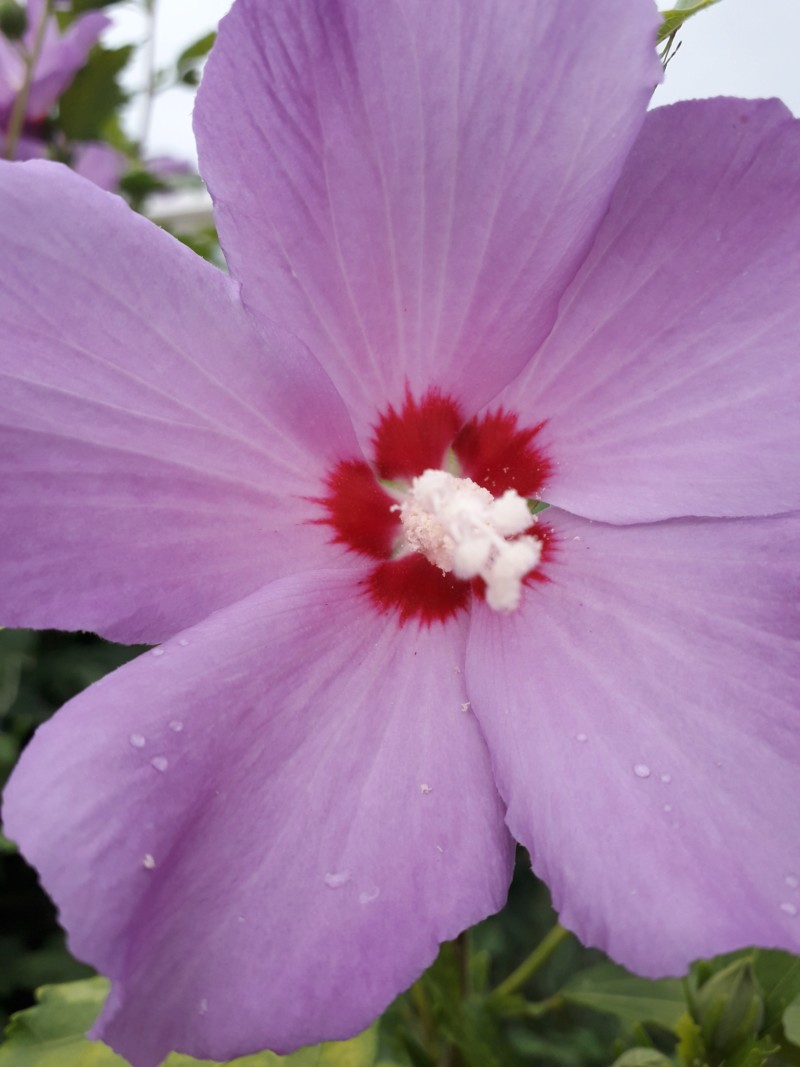 Hibiscus altea au jardin. 20180196