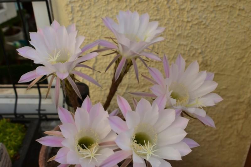 Cinq fleurs....il a fait fort cette année.. 20180754