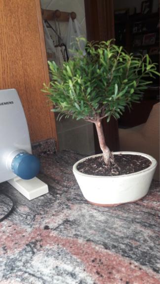 Primer bonsai 20190513