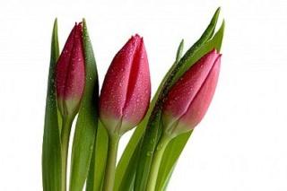 Blog Tulipa10