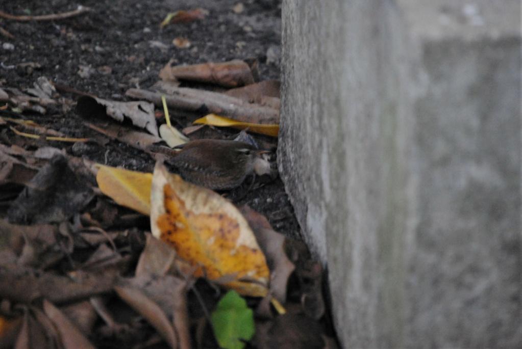 Carriça, 9/01, Jardins Gulbenkian Dsc_0014