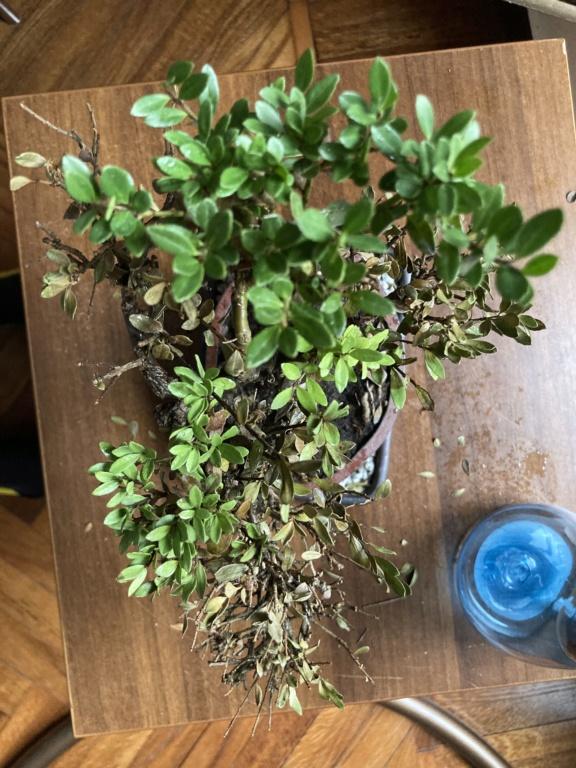 Aiuto bonsai e colpo di secco  A9a82410