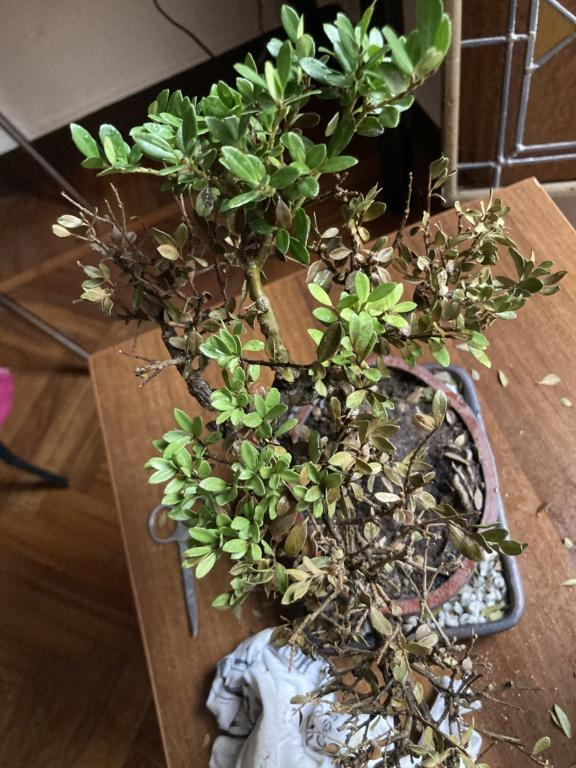 Aiuto bonsai e colpo di secco  Ea8f6d10
