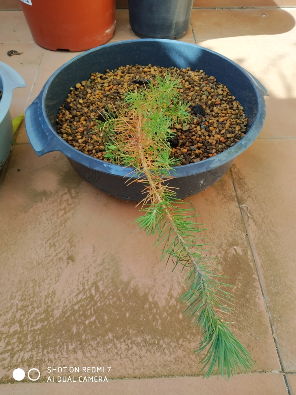 Pinus Pinea 2021-014