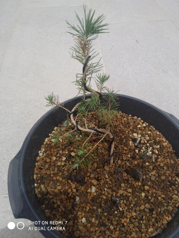Pinus Pinea 2021-015