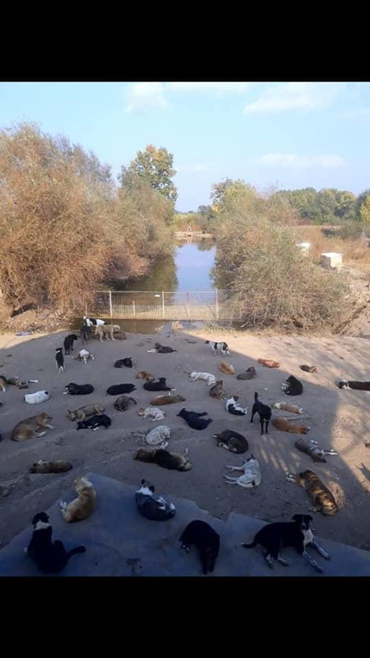 L'histoire des chiens de Roumanie? 52908210