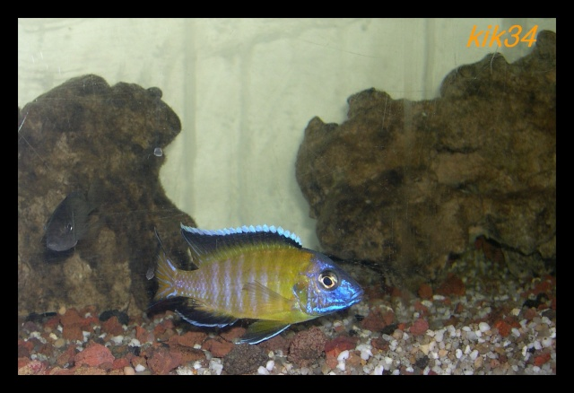 photos et videos de vos poissons du malawi Dscn3411