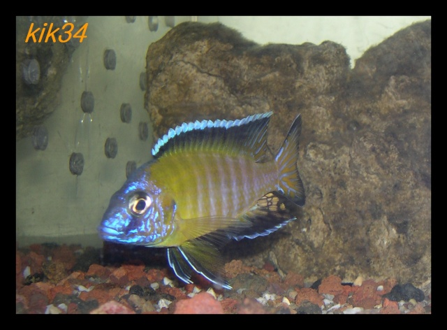 photos et videos de vos poissons du malawi Dscn3512