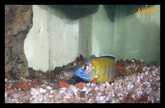 photos et videos de vos poissons du malawi Dscn3513