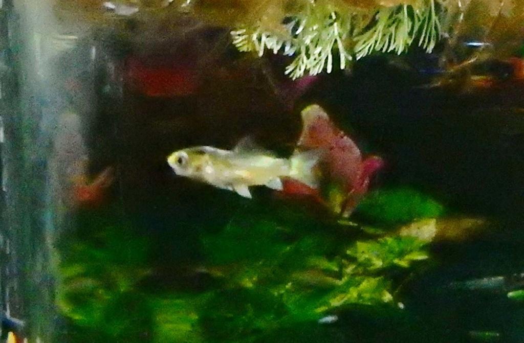 bébé poisson de mon bassin Dscn5428