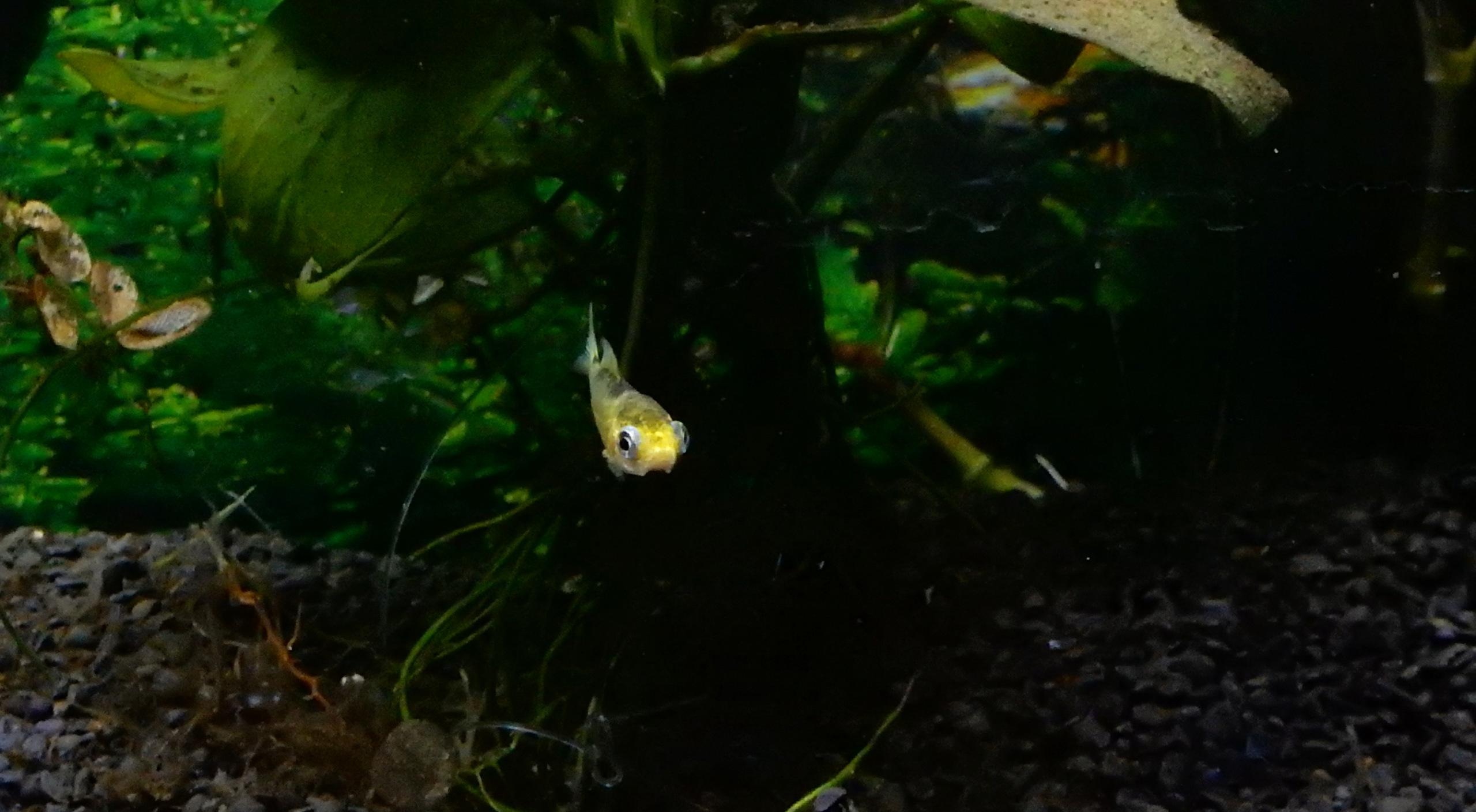 bébé poisson de mon bassin Sept2010