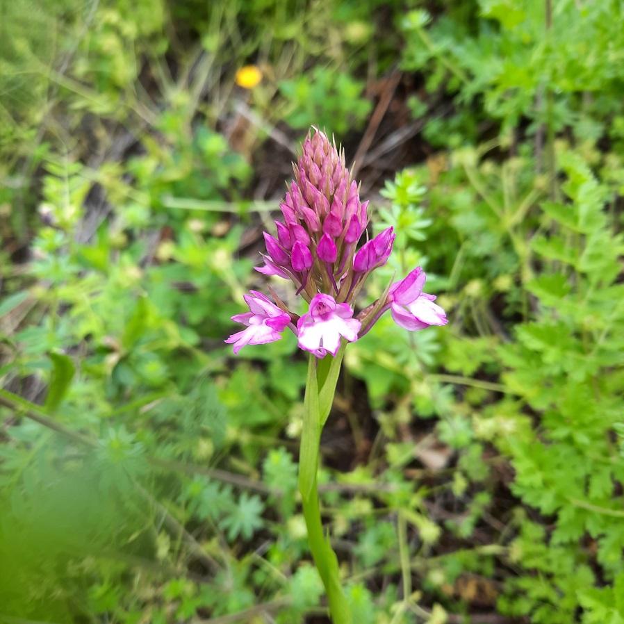 Photos orchidées - EUVILLE - 20210618
