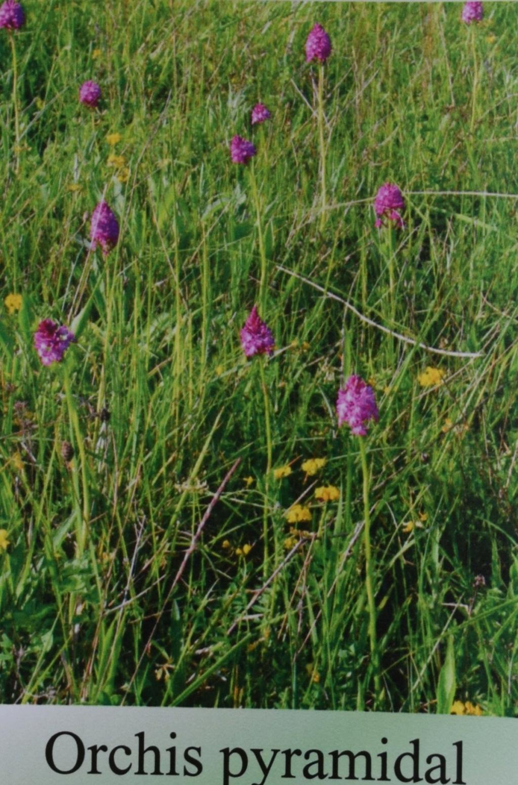 Les orchidées en Meuse  Dsc_0435