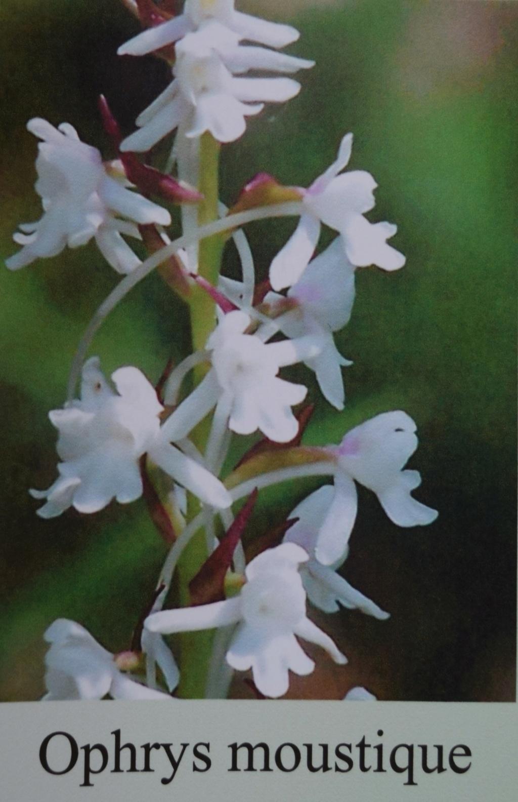 Les orchidées en Meuse  Dsc_0437