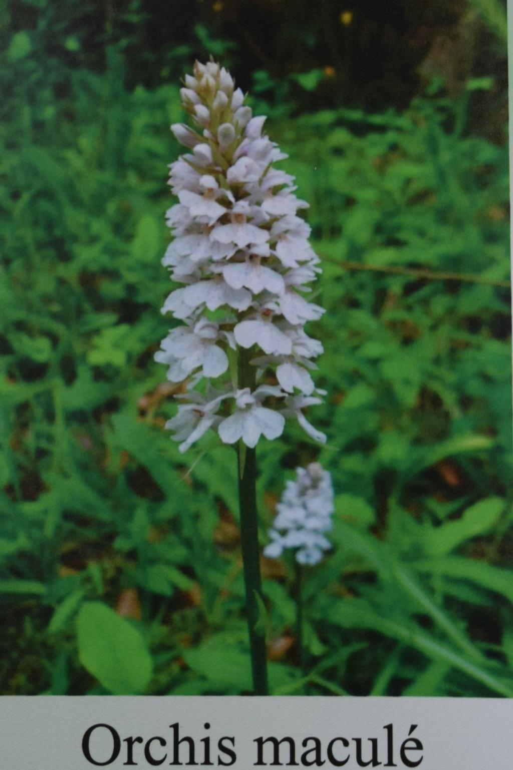 Les orchidées en Meuse  Dsc_0438