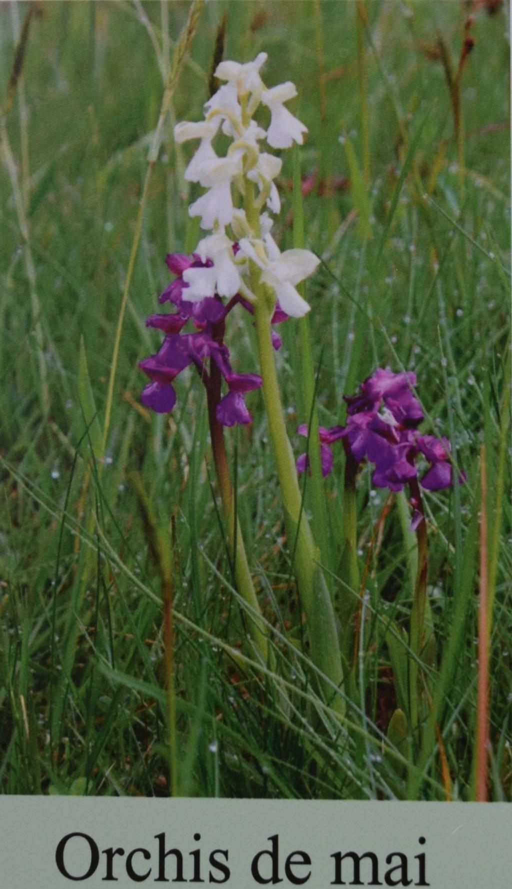 Les orchidées en Meuse  Dsc_0439