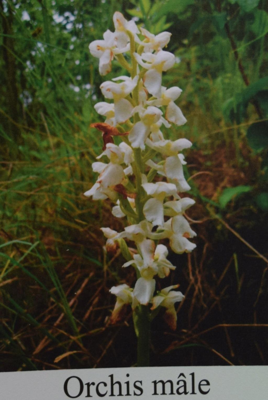 Les orchidées en Meuse  Dsc_0441