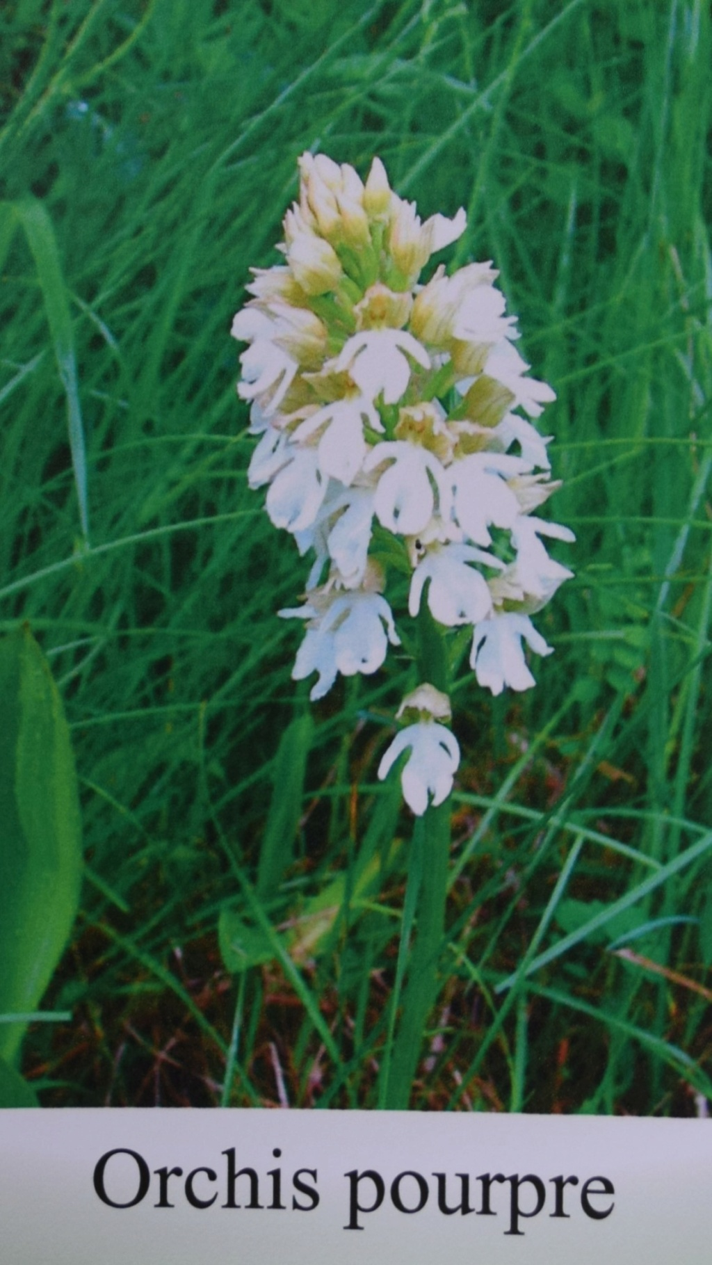 Les orchidées en Meuse  Dsc_0443