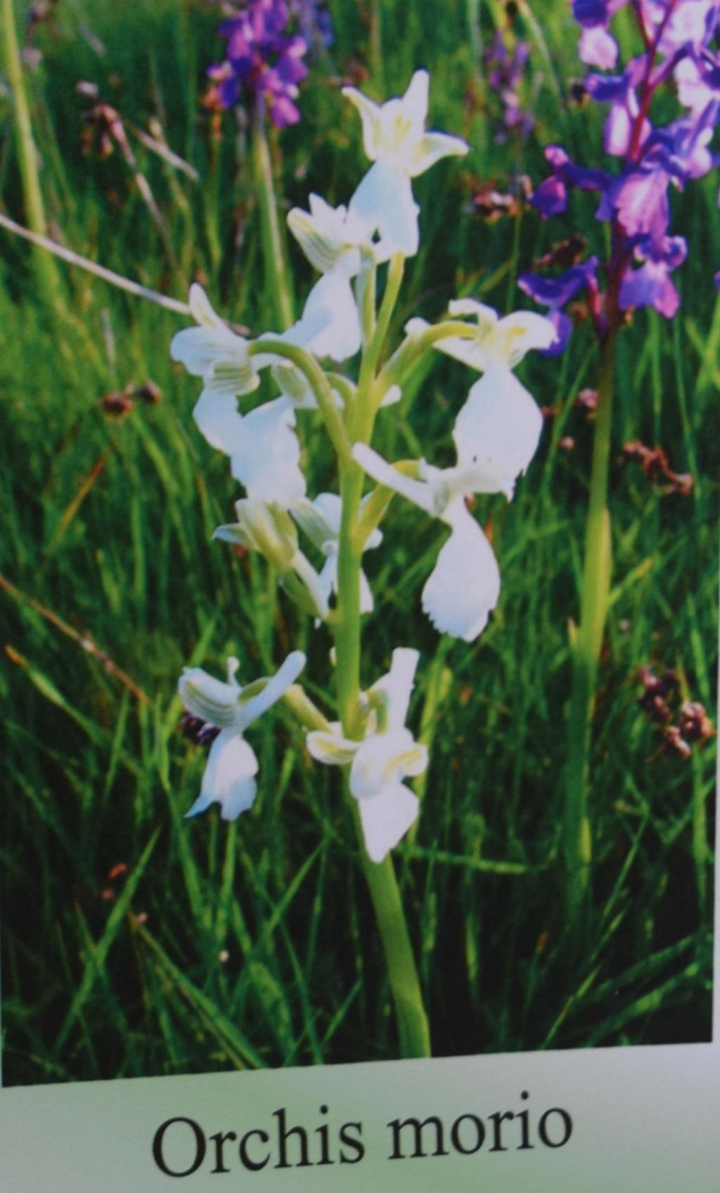 Les orchidées en Meuse  Dsc_0445