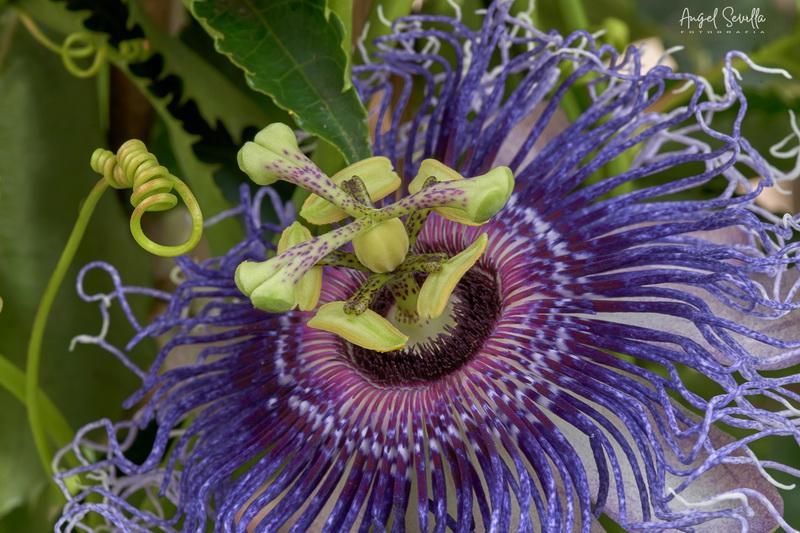 Flor de la Pasión _dsc2611