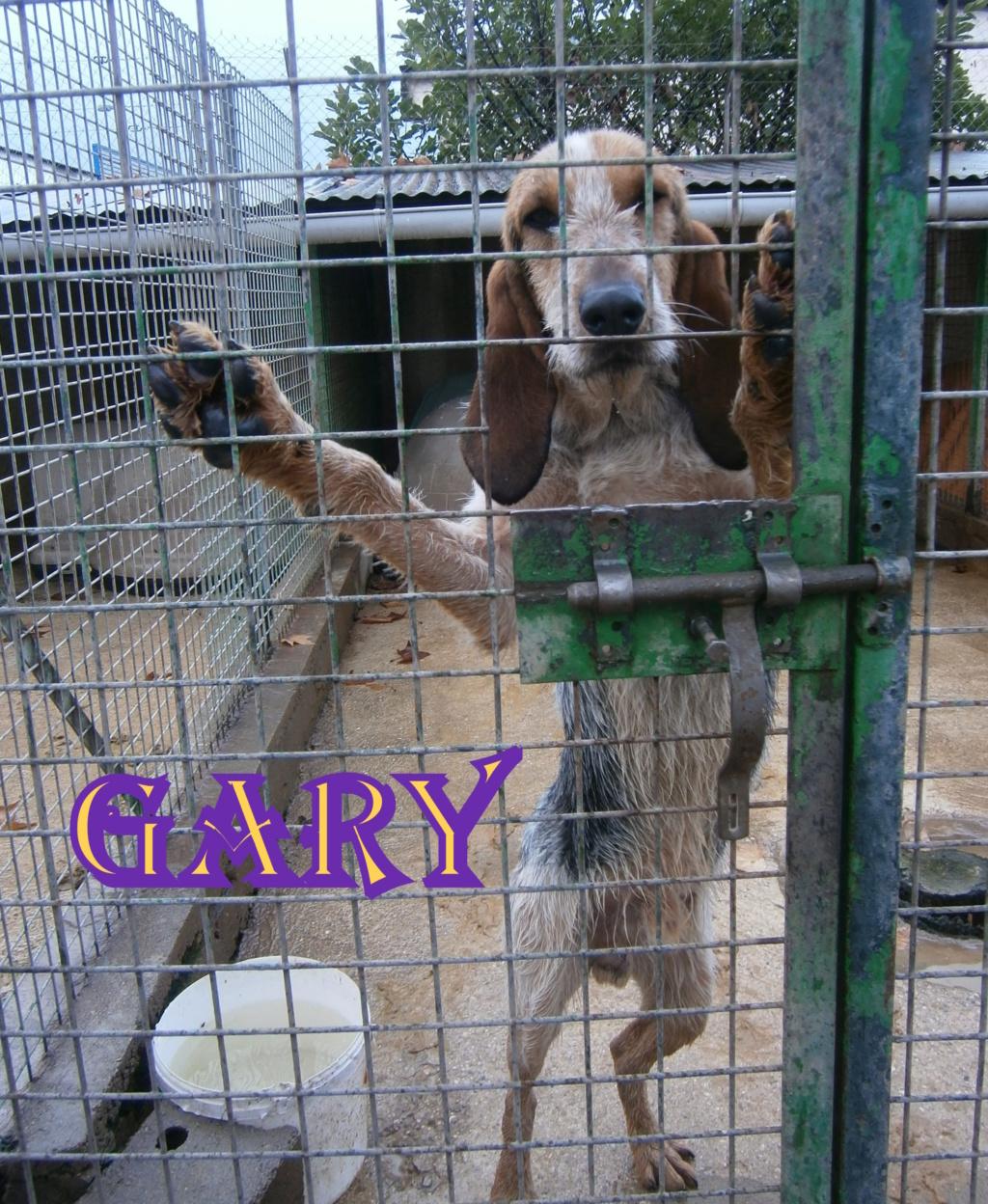 GARY , griffon bleu de gascogne , presque 2 ans , drôme (26) P2022110