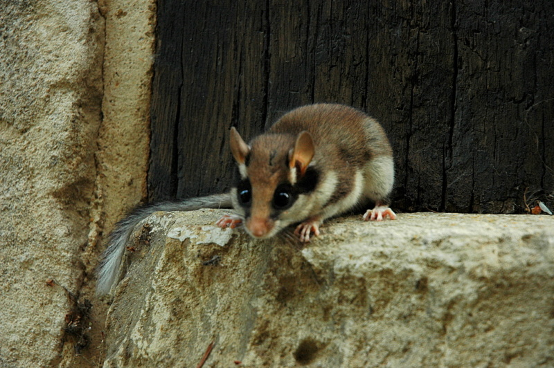 Quel est cet animal ? Eliomy10