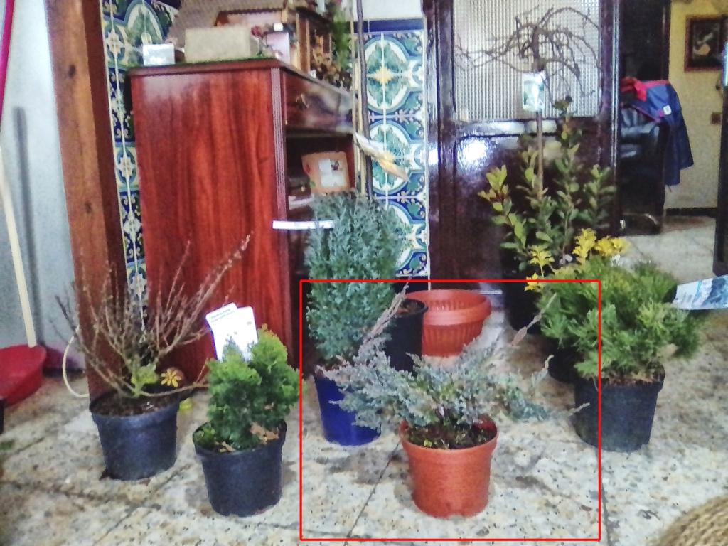 Juniperus Scuamata Blue Carpet - Enebro Escamoso Foro_110