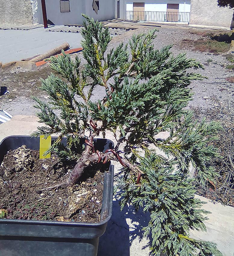 Juniperus Scuamata Blue Carpet - Enebro Escamoso Foro_111