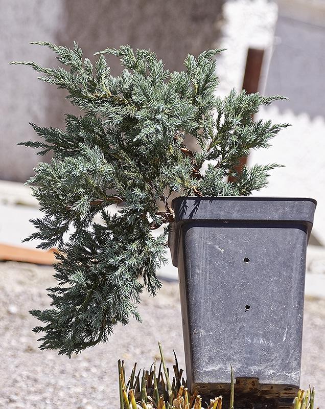 Juniperus Scuamata Blue Carpet - Enebro Escamoso Foro_112