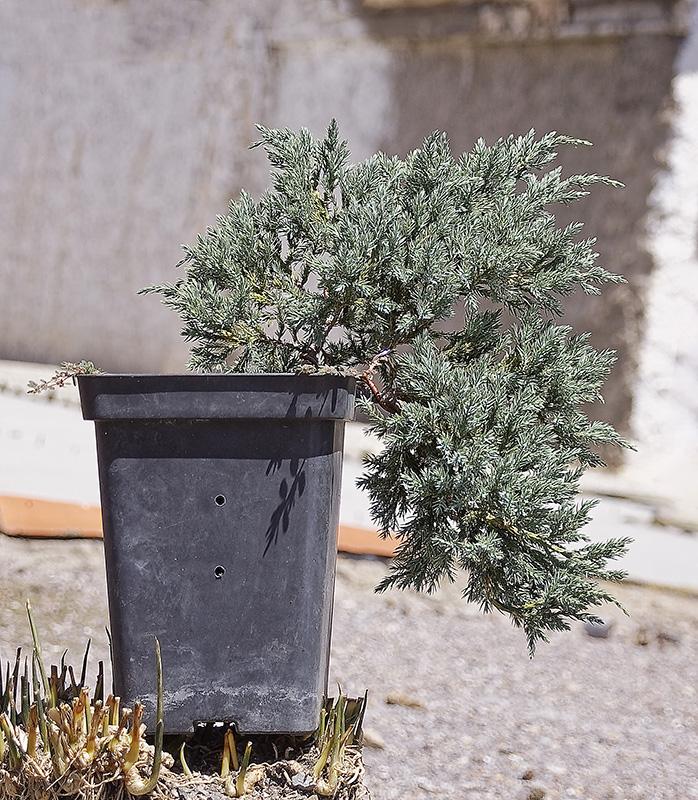 Juniperus Scuamata Blue Carpet - Enebro Escamoso Foro_113
