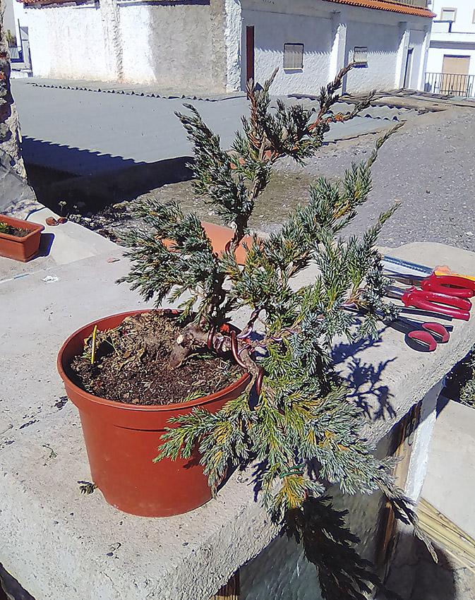 Juniperus Scuamata Blue Carpet - Enebro Escamoso Foro_210