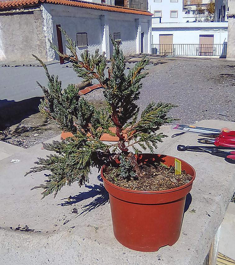 Juniperus Scuamata Blue Carpet - Enebro Escamoso Foro_310