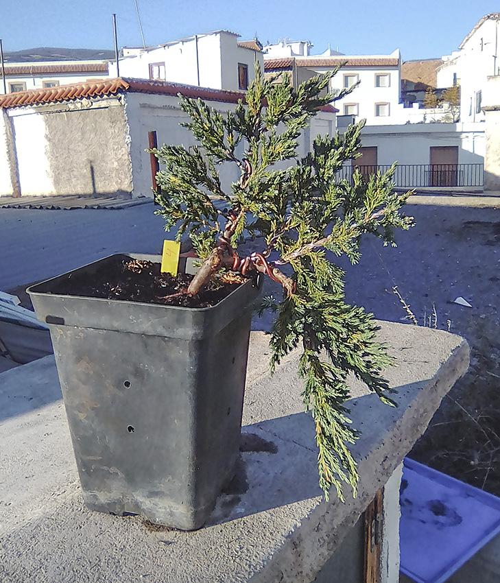 Juniperus Scuamata Blue Carpet - Enebro Escamoso Foro_510