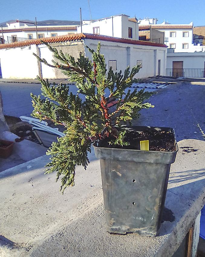 Juniperus Scuamata Blue Carpet - Enebro Escamoso Foro_610