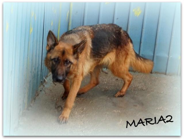MARIA2, F type Berger Allemand, taille moyenne, née ??? (PIATRA/PENSION)  réservée SPA PONTARLIER - Page 2 Maria013